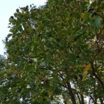 里の紅葉はハゼの木