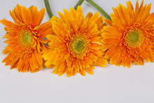 Macro orange Chrysanthemum on the white backgrou