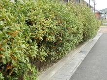 キンモクセイの花壇1