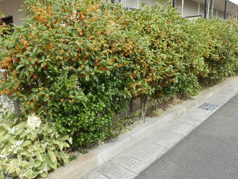 キンモクセイの花壇2