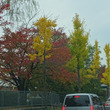 京都の街路樹