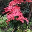 京都の紅葉は今が盛り