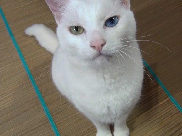 お座りして見つめる白猫ユキ
