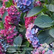 紫陽花が美しかったサ…