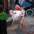 ミニ豚ちゃんに遭遇♪