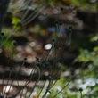 秋明菊(しゅうめいぎ…