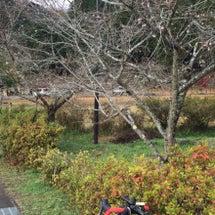 今朝の十月桜と有間ダ…