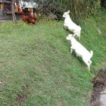 熊本で、鶏を追いかけ…