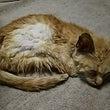 粘着剤で衰弱した仔猫…