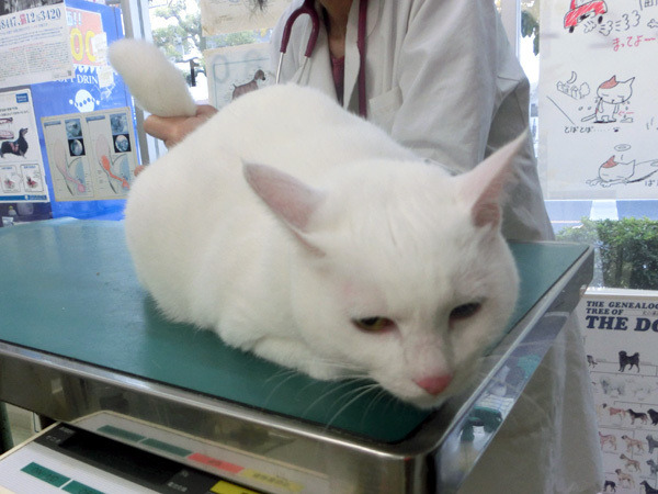 診療台の上の白猫ユキ2