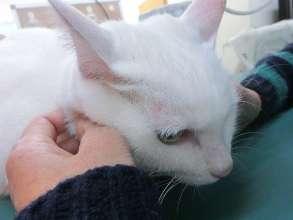 診療台の上の白猫ユキ3