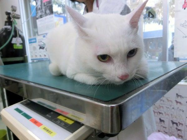診療台の上の白猫ユキ1