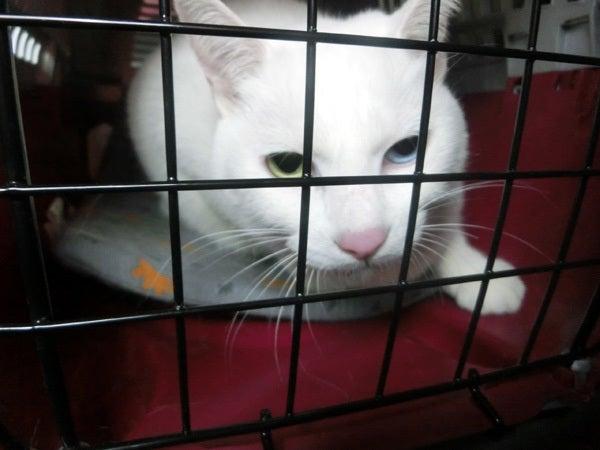 キャリーの中の白猫ユキ1