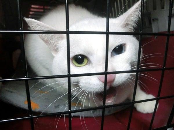 キャリーの中の白猫ユキ2