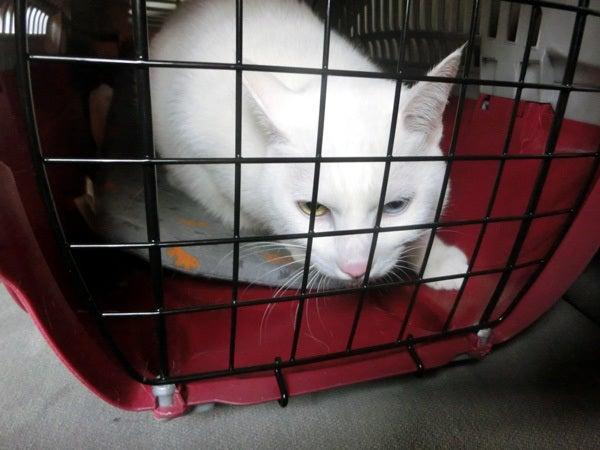 キャリーの中の白猫ユキ3