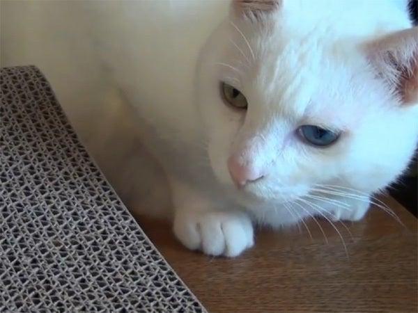 白猫ユキの顔のアップ1