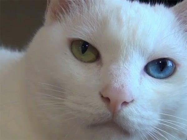 白猫ユキの顔のアップ2