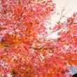 我が家の紅葉♪
