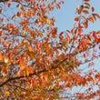 北風に舞う護岸の紅葉