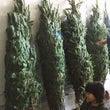 クリスマスツリー選び…
