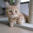 猫のブリーディングを…