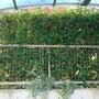 垣根の枝抜き