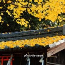 立木神社のイチョウ