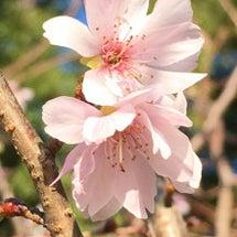 桜 咲く♪