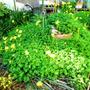我が家の庭に咲いた黄…