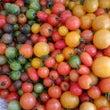 最後のトマト出荷です