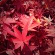 秋の京都、おすそわけ