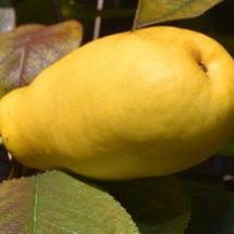 黄色いカンリの実