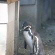 天王寺動物園のフンボ…