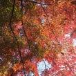 新宿御苑・モミジの紅…
