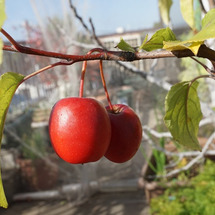 長寿紅リンゴの収穫♪