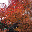 またまた紅葉。