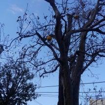 かりんの木