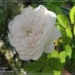 """""""枝垂れる白バラ""""は…"""