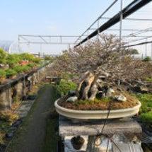 盆栽:東海雅展の打ち…