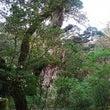 今年最後の縄文杉