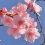 熱海で桜が開花、1ヶ…