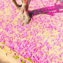 自然界のピンクの絨毯