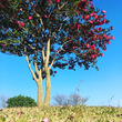Camellia s…