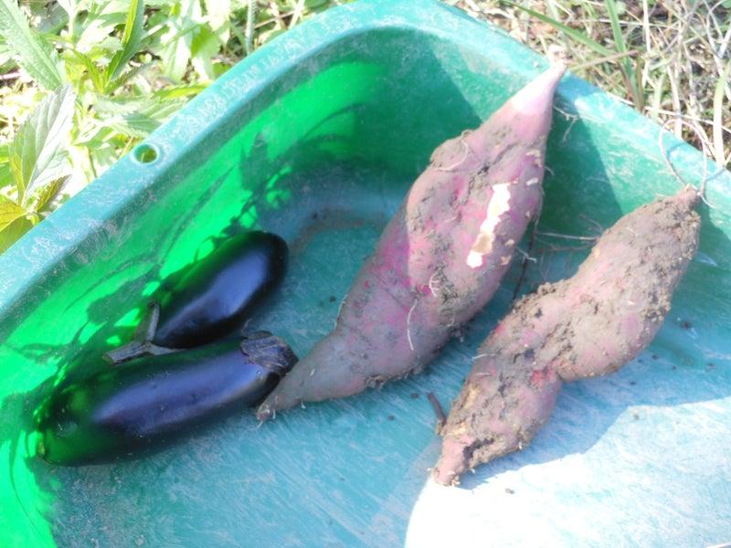 サツマイモ_収穫