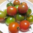 冬トマトの収穫はタイ…
