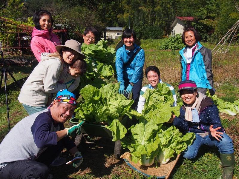 11月 白菜収穫