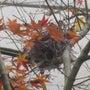 ヒヨ鳥の巣