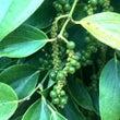 フーコック島黒胡椒