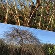 枝垂れ梅。今年は、蕾…