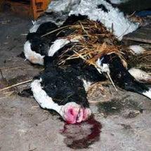 出産後数時間の母牛を…